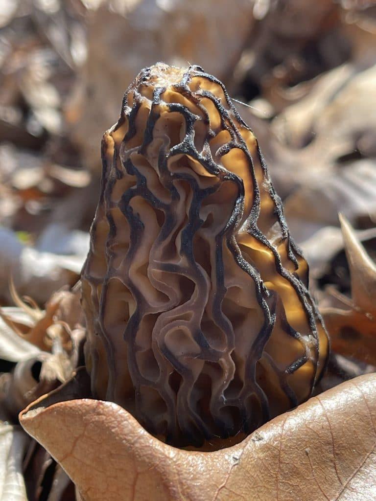 Detail of morel mushroom with leaf